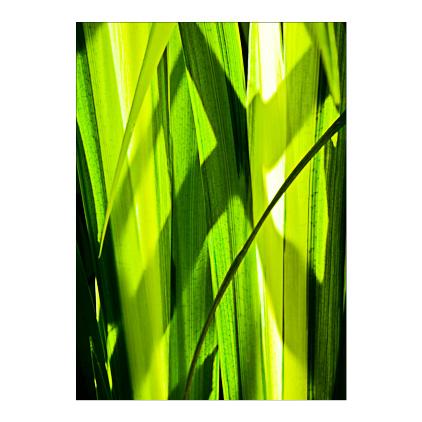GC.050 Sunlit iris leaves
