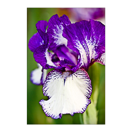 GC.170 Iris 'Rare Edition'