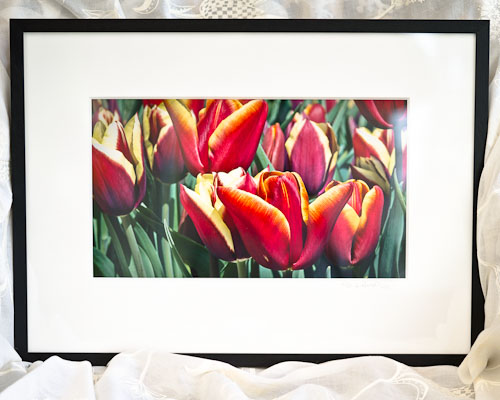 Multi-coloured Tulips