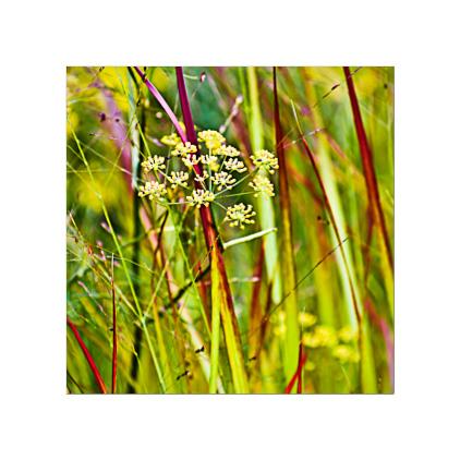 GC.060 Panicum virgatum and fennel