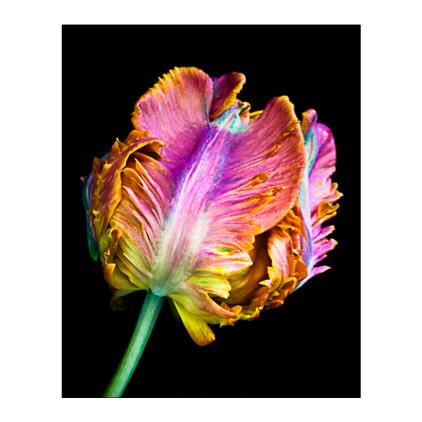 GC.230 Parrot Tulip