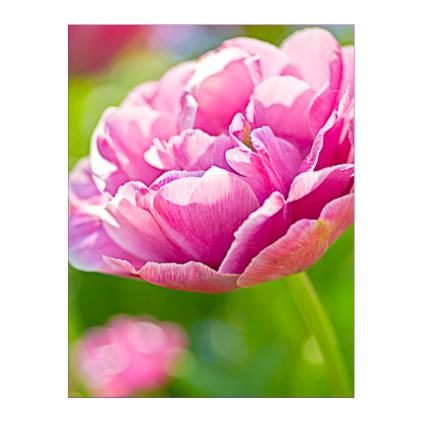 GC.270 Peony-flowered tulip