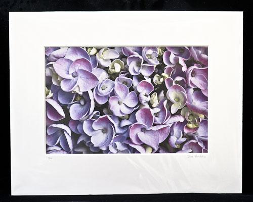Mauve-Pink Hydrangea Florets