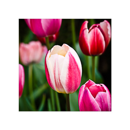 GC.240 Pink-and-White Tulips
