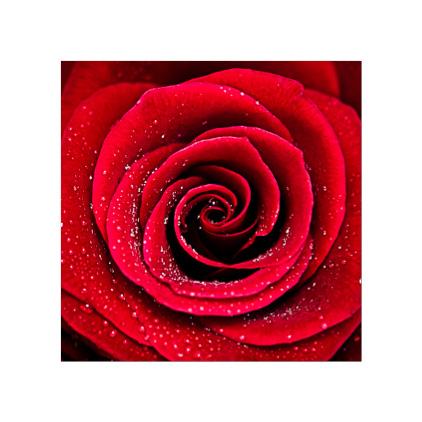GC.260 Scarlet Rose