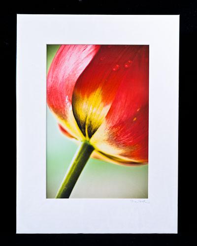 Tulip Base