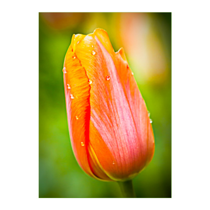 GC.300 Tulip 'Dordogne'