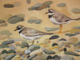Ringed Plovers