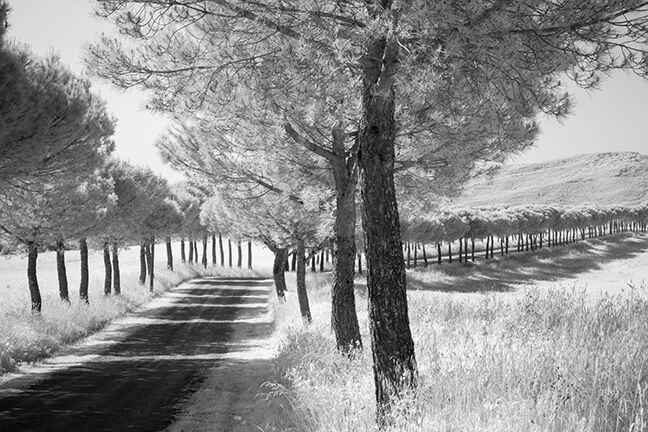 Infrared, monochrome shot of an Avenue of Trees in Valdorcia landscape, Tuscany, Italy