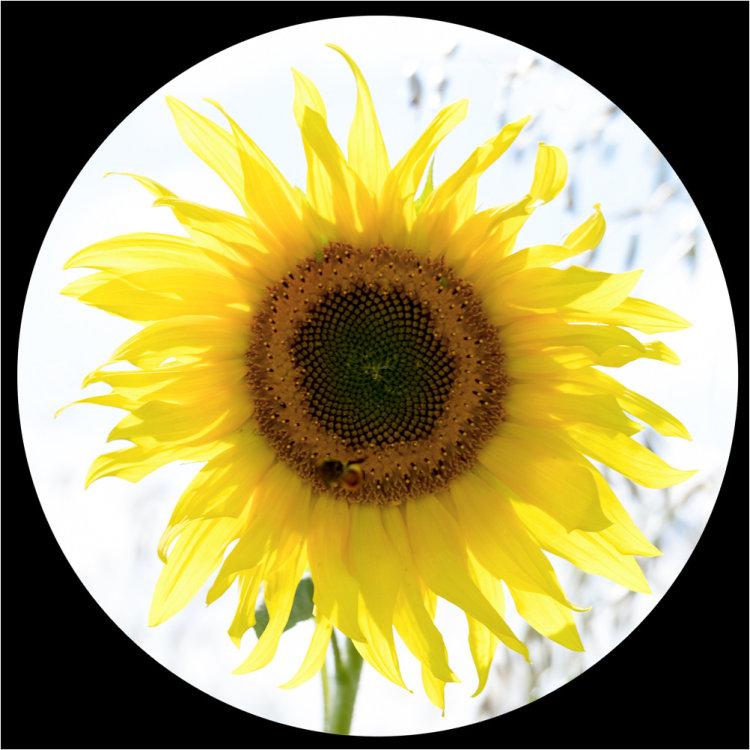 Sunflower (circular)