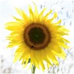 Sunflower (square)