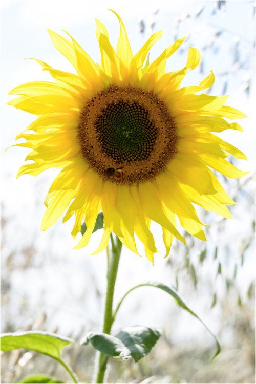 Sunflower (rectangle)