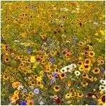 Wild Flower Meadow Olympic Park ll