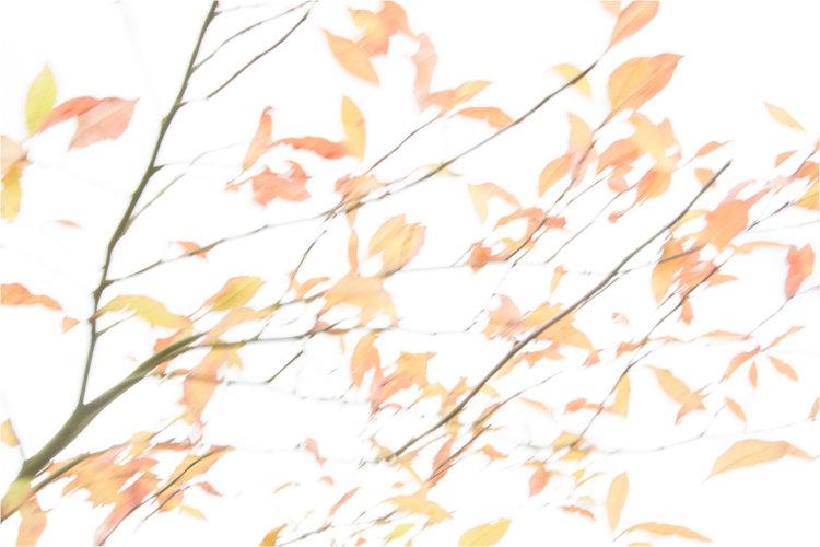Autumn Breeze, Wisley ll