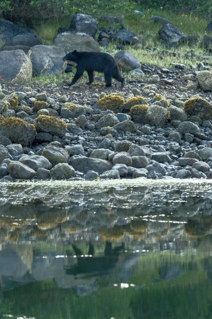 Bear reflection, near Tofino, Vancouver Island