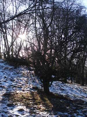 sunli_tree