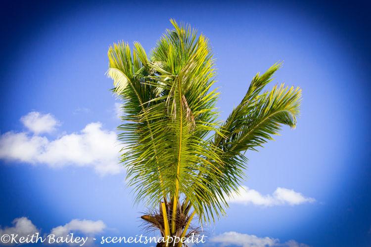 #18 Barbados Palm