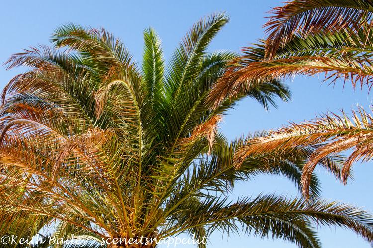 #20 Beach Palm
