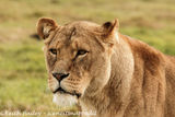 #22 African Lioness