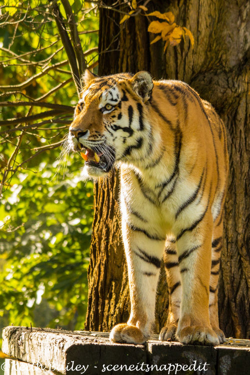 #24 Amur Tiger