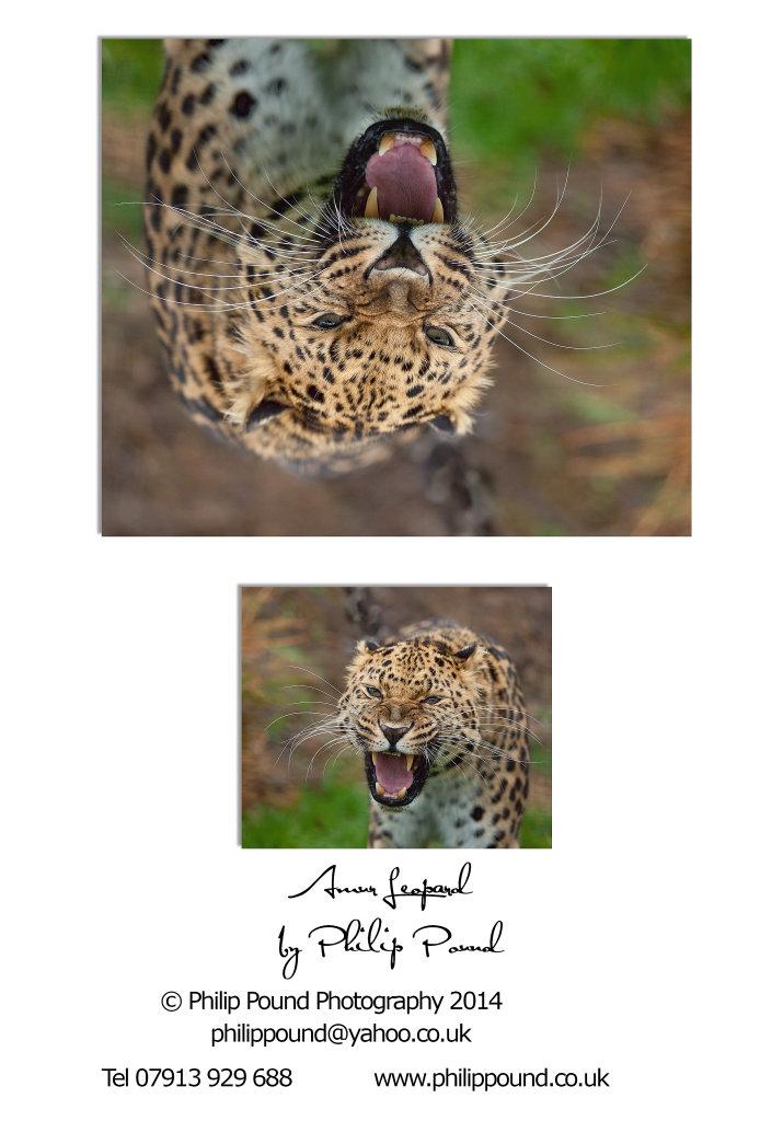 Rare Amur Leopard