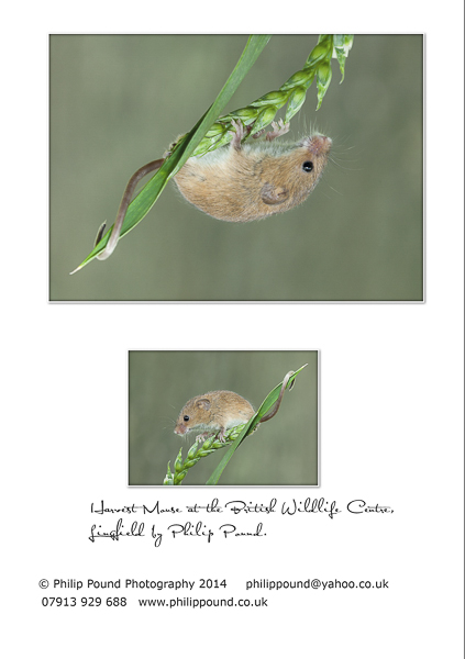 Harvest Mouse Greetings Card