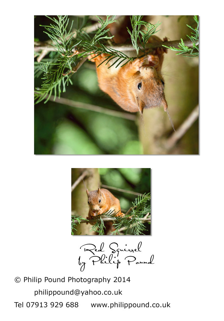 Red Squirrel in a Fir Tree