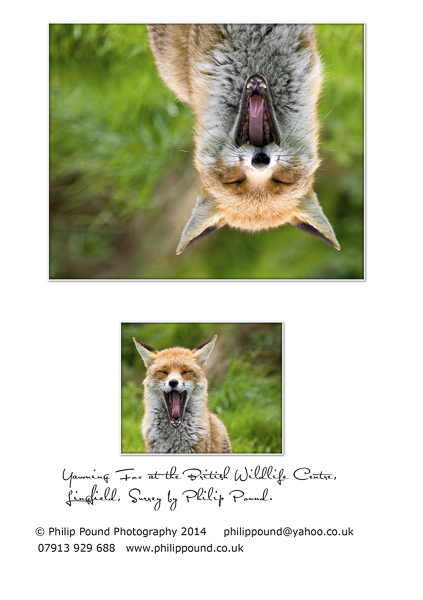 Yawning Fox Greetings Card