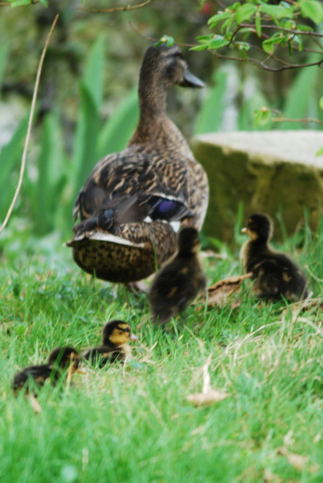Ducklings' first walk
