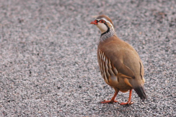 Why did the Partridge cross the road ?