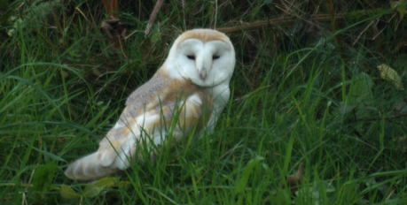 Barn Owl in the garden