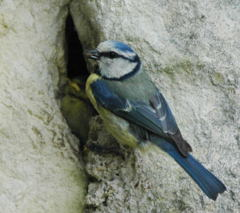 Blue Tit Dad