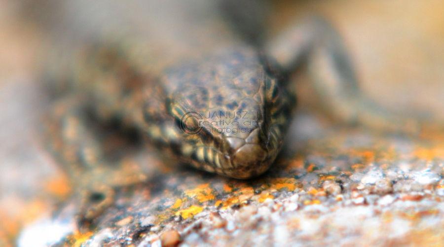 A common Lizard