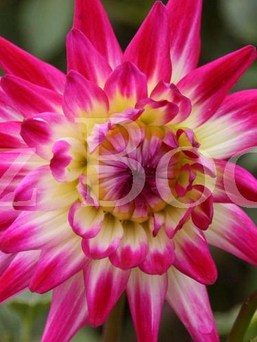 Elza's flower