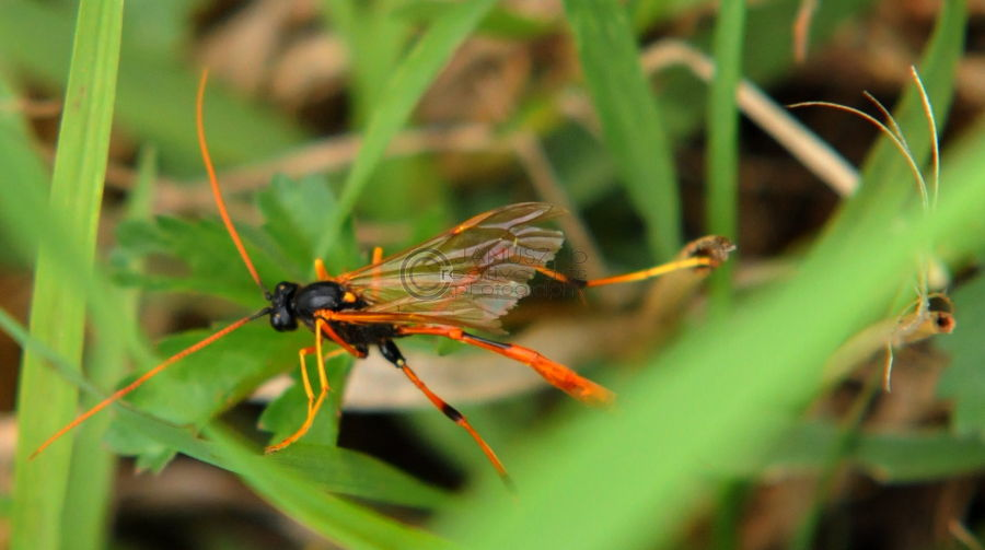 Orange Hornet
