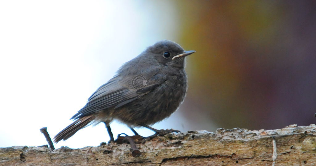 Fledgling Redstart
