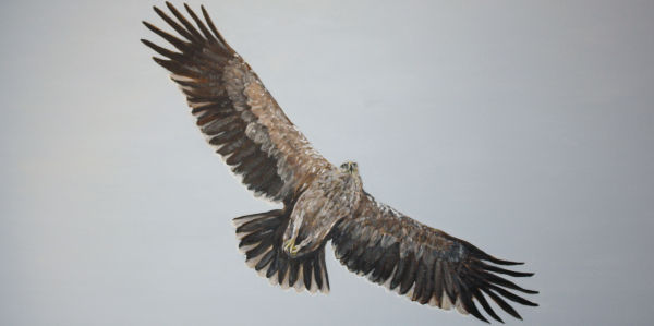 Spanish Imperial Eagle 2