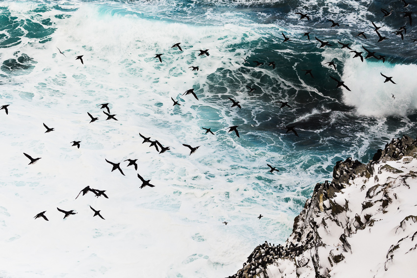 Guillemots and roaring waves