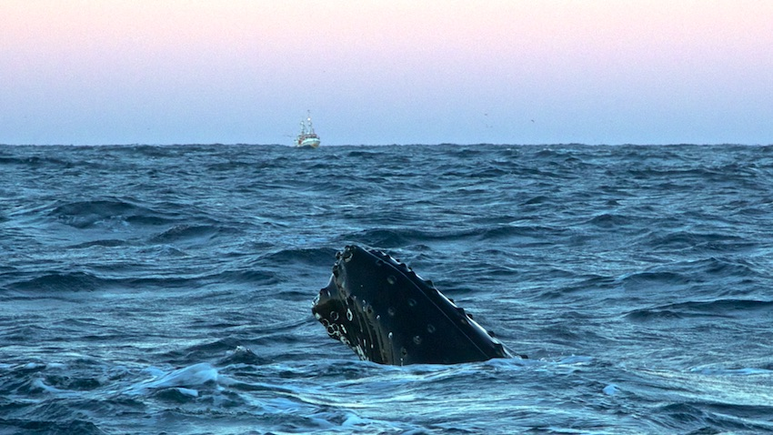 Humpbackwhale4