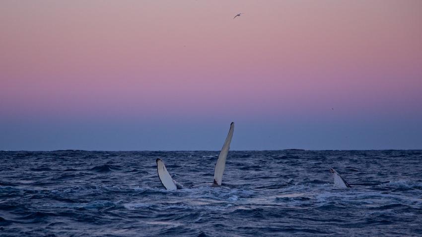 Humpbackwhale6