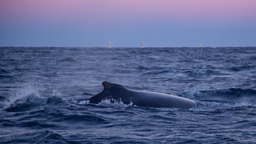 Humpbackwhale8