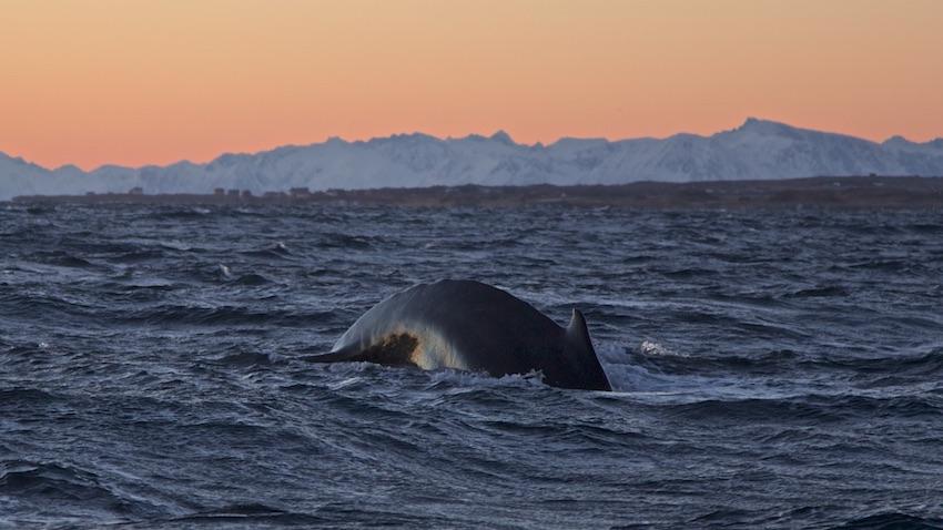 Humpbackwhale9