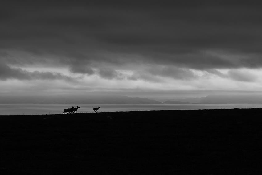 Reindeer on Varanger peninsula