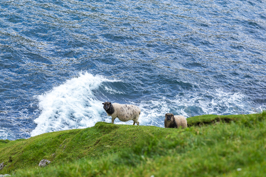 Sheep by the ocean