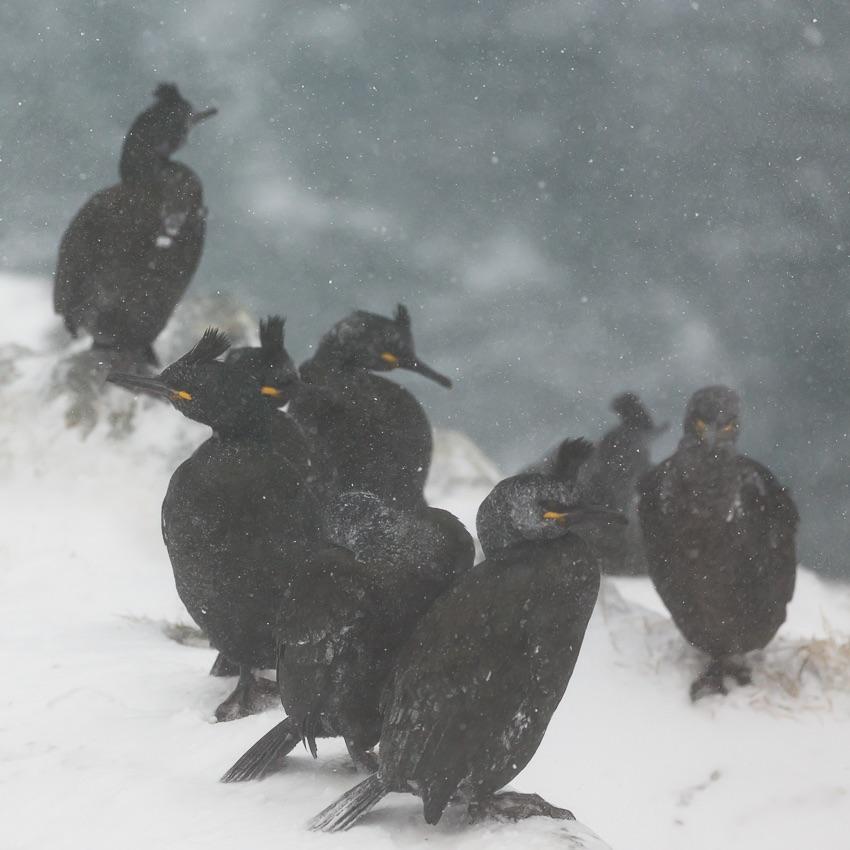 Shags in the blizzard, toppskarv i snøstorm