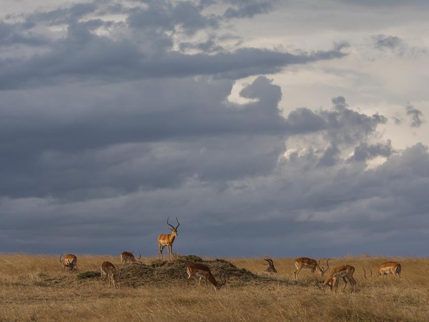 Impala keeping watch