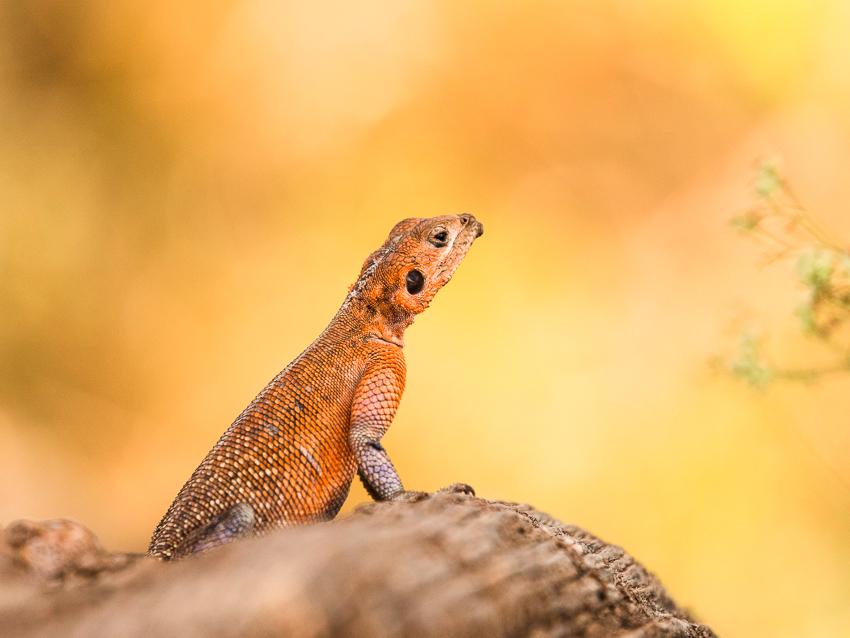 Red headed agama lizard