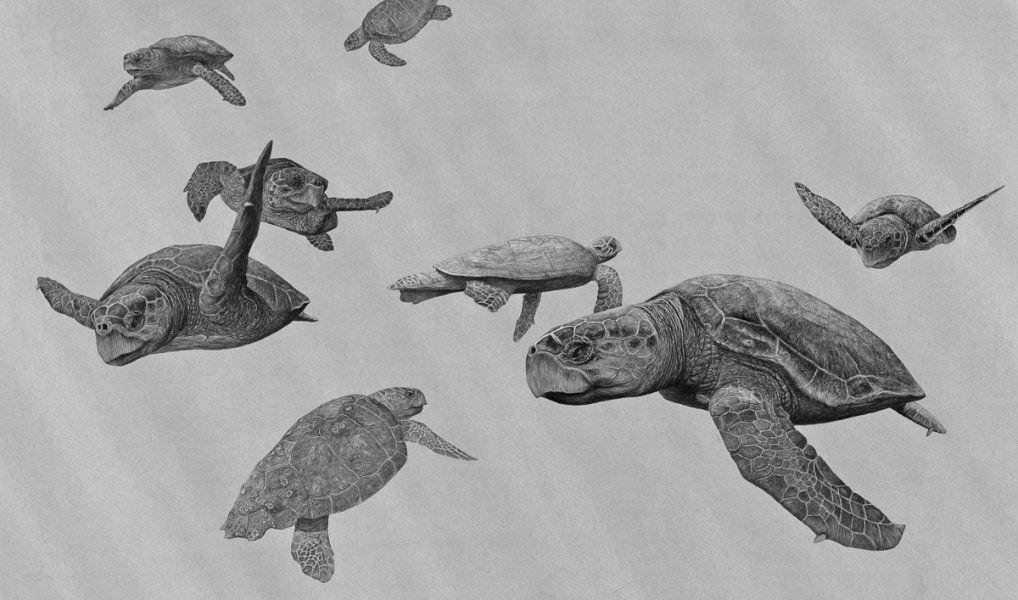 Eight Loggerhead Turtles - Traveled so Far