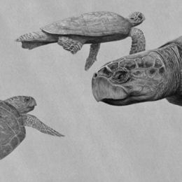 Eight Loggerhead Turtles - Traveled so Far