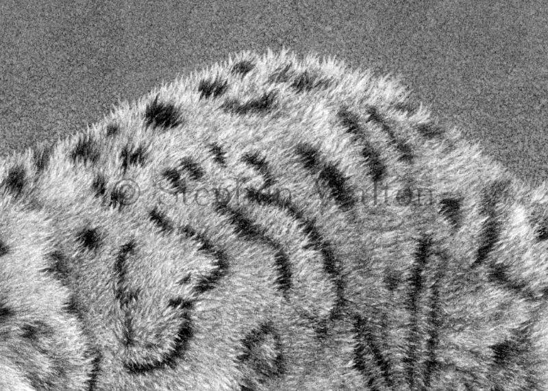 Ghost - Snow Leopard - detail